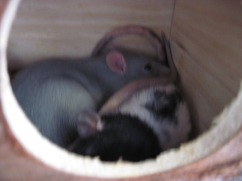Left silver rat is unnamed, and on the right is Seven