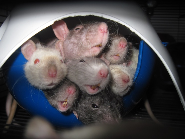 How many rats can you fit in a sputnik?