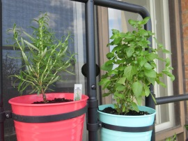 Rosemary & Basil