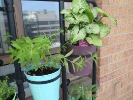 Lemon Verbena & a tropical leaf plant